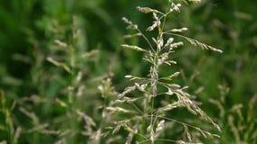 Gemensamt änggräs i en fältPoapratensis Koniska panicles växten kallas också den Kentucky blågräset stock video