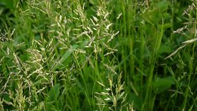 Gemensamt änggräs i en fältPoapratensis Koniska panicles växten kallas också den Kentucky blågräset lager videofilmer
