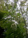 Gemensamt akaciaträd Royaltyfria Foton