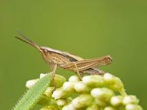 Gemensamt fält Grasshoper Arkivfoto