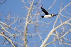 Gemensamt Goldeneyeflyg förbi de karga vinterträden Arkivbild