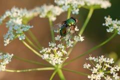 Gemensamt grönt flaskflugasammanträde på en liten närbild för vit blomma arkivfoto
