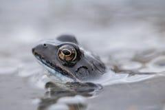 gemensamt grodavatten Fotografering för Bildbyråer
