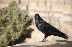 Gemensamt korpsvart - Corvuscorax Royaltyfri Bild