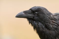 Gemensamt korpsvart - Corvuscoraxsammanträde på ett staket Fotografering för Bildbyråer