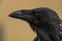 Gemensamt korpsvart - Corvuscoraxsammanträde på ett staket Royaltyfri Fotografi