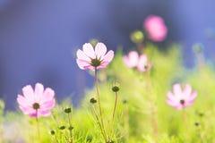 gemensamt kosmos blommar pink Royaltyfri Foto