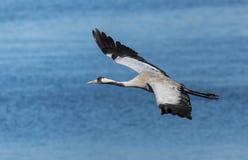 Gemensamt kranflyg ovanför en sjö Fotografering för Bildbyråer