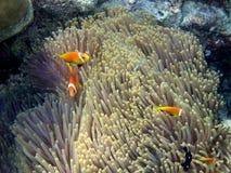 gemensamt maldive för anemonefish Royaltyfri Foto