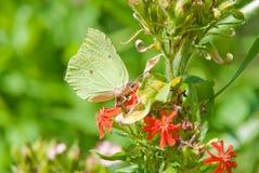 Gemensamt svavel (den Gonepteryx rhamnien) på den blommaLychnis chalcedonicaen Fotografering för Bildbyråer
