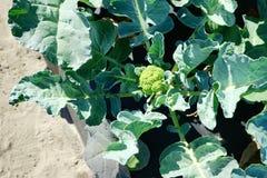 Gemenskapgrönsakträdgård: broccoli royaltyfri foto