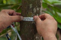 gemessener Durchmesser auf Brusthöhe des Baums lizenzfreie stockfotos