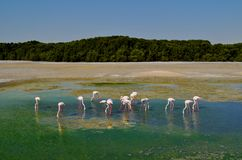 Gemigreerde kleine groep flamingo's in de groene meervijver Stock Foto