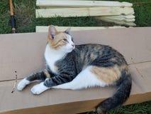 Gemini Cat royalty free stock photos