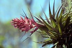 Geminiflora de Tillandsia de bromélia dans le tronc d'arbre Photographie stock libre de droits