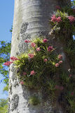 Geminiflora de Tillandsia de bromélia dans le tronc de palmier Photos stock