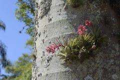 Geminiflora de Tillandsia de bromélia dans le tronc de palmier Images stock