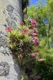 Geminiflora de Tillandsia de bromélia dans le tronc de palmier Photographie stock