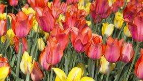 Gemischte rote und gelbe Tulpe Stockfotografie