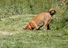 Gemischter Bruthund des Boxers/Rhodesian ridgeback Lizenzfreies Stockbild