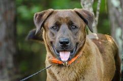 Gemischter Hund Zucht des Schokoladen-anatolischer Schäfers Retriever Lizenzfreie Stockbilder