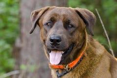 Gemischter Hund Zucht des Schokoladen-anatolischer Schäfers Retriever Lizenzfreie Stockfotografie
