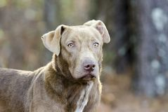Gemischter Zuchthund der Schokolade Labrador retriever Lizenzfreies Stockfoto