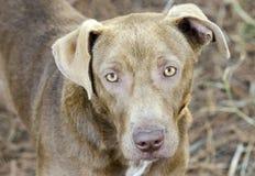 Gemischter Zuchthund der Schokolade Labrador retriever Lizenzfreie Stockfotos