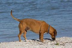 Gemischter Zuchthund des Boxers Dachshund. Lizenzfreie Stockbilder
