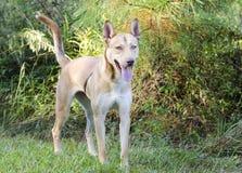 Gemischter Zuchthund des Pharao-Jagdhundes sibirischer Husky stockbild