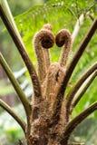 Gemme fogliari di una felce di albero australiana fotografia stock