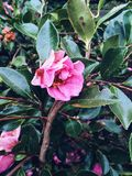 Gemme rose Photographie stock