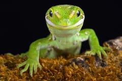Gemmeus Naultinus gecko Jewelled στοκ εικόνες