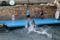 Gemowy trener i delfiny Fotografia Stock