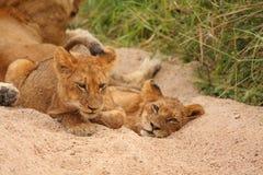 gemowych lwów rezerwowy sabi piasek Obraz Royalty Free