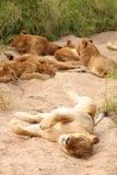 gemowych lwów rezerwowy sabi piasek Obrazy Royalty Free