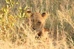 gemowych lwów rezerwowy sabi piasek Fotografia Royalty Free