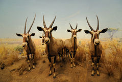 Gemsbock Antelope Royalty Free Stock Photos