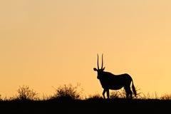 gemsbok σκιαγραφία Στοκ Φωτογραφίες