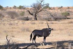 Gemsbok στο εθνικό πάρκο Kgaligadi Στοκ Φωτογραφίες