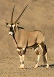 gemsbok антилопы Стоковая Фотография RF