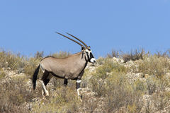 Gemsbok Royalty Free Stock Image