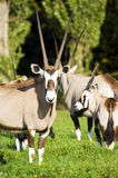 Gemsbok Royalty Free Stock Photos