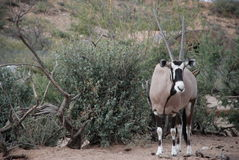 Gemsbok immagine stock