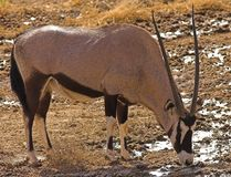 Gemsbok Photo libre de droits