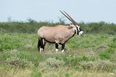 gemsbok Royaltyfria Foton