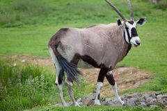 Gemsbok Stockfotos