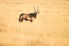Gemsbok. Antelope (oryx), Etosha, Namibia Royalty Free Stock Photo