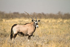Gemsbok Fotos de Stock