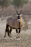 Gemsbok. Oryx gazella; South Africa; Kalahari desert Stock Images